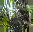 OENOCARPUS BATAUA FRUIT OIL